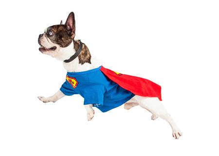 French Bulldog breed dog wearing super hero costume flying over white background