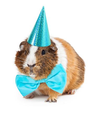 auguri di compleanno: Carino piccolo porcellino d'India animale che indossa una cravatta a farfalla blu e cappello di partito