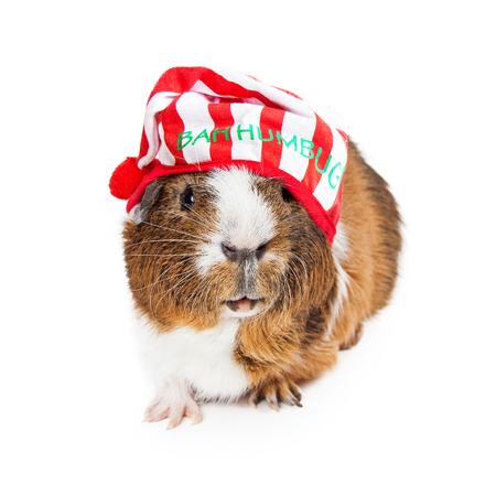 Cute and funny guinea pig wearing a Christmas pajama night cap that says Bah Humbug