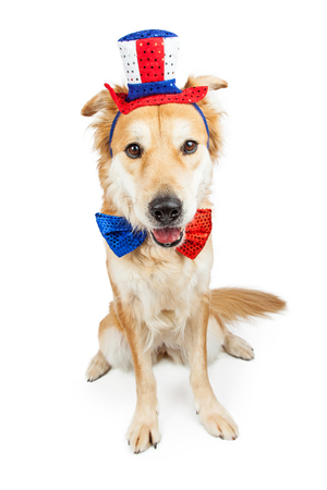 Golden Retriever mixed breed dog wearing funny American patriotic hat and bow tie