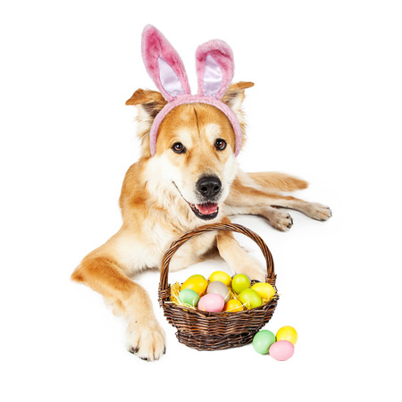 big ear: Beautiful Golden Retriever crossbreed dog wearing Easter Bunny ears laying down with a basket full of colorful eggs Stock Photo