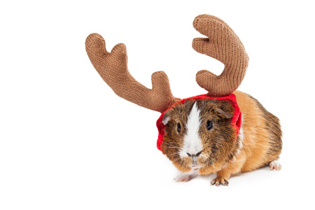 Funny photo of a little pet guinea pig wearing reindeer antlers. Isolated on white with copyspace.