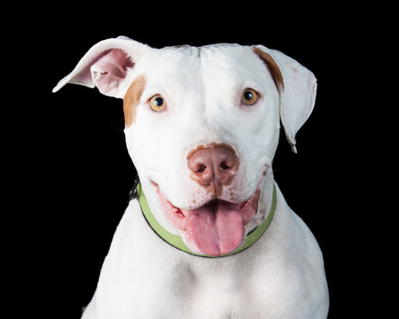 pit bull: Cute smiling white color Pit Bull dog with mouth open smiling