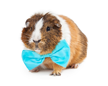Adorable guinea pig wearing a formal blue bow tie. Isolated on white.