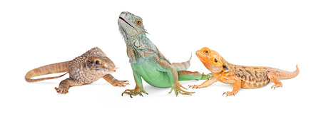 Savannah monitor, bearded dragon and iguana lizards together. Isolated on white vertical banner