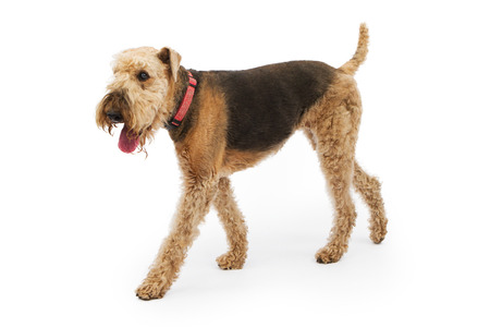 airedale terrier dog: Airedale Terrier breed dog walking to the side over a white background