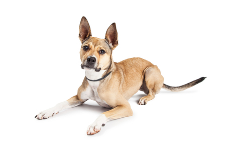 laying forward: Beautiful Shepherd mixed breed dog laying down on a white studio background looking forward