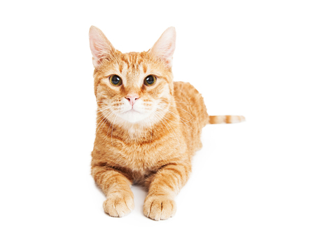 laying forward: Cute adult orange color tabby cat laying over white looking forward Stock Photo