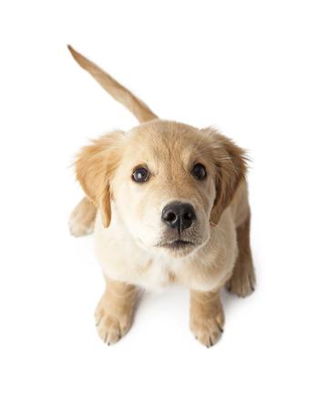 흰색 배경에 앉아 사랑스러운 작은 골든 리트리버 순종 강아지를 찾고