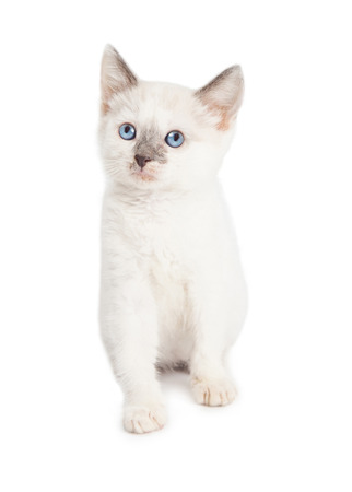 sit on studio: Adorable little white and grey color kitten sitting on a white studio background looking up Stock Photo