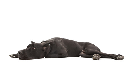 side keys: Large Great Dane purebred dog laying to the side on a white studio background Stock Photo