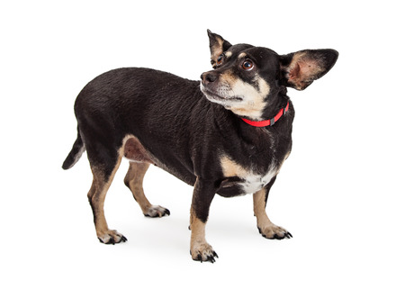 miniature breed: Tímido y con miedo pequeño perro de raza mixta de pie sobre el blanco y mirando hacia atrás con una expresión de miedo