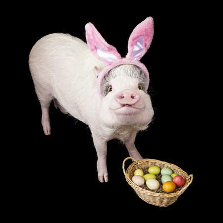 pot bellied: Funny photo of a pet pig wearing Easter BUnny ears with a basket of colorful eggs