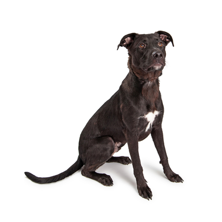 large dog: Adorable young mixed large breed dog sitting on a white studio background Stock Photo