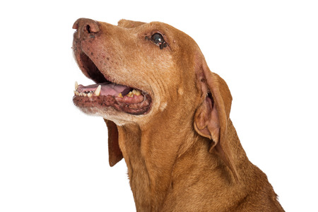 yellow teeth: Portrait of an old Vizsla dog with an eye infection and yellow teeth