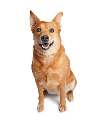 looking into camera: Beautiful adult Carolina breed dog sitting on a white studio background with mouth open looking into camera Stock Photo