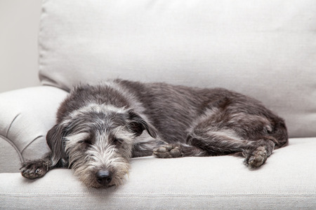 loveseat: Mixed breed medium sized grey color dog laying on a neutral color couch with room for text Stock Photo