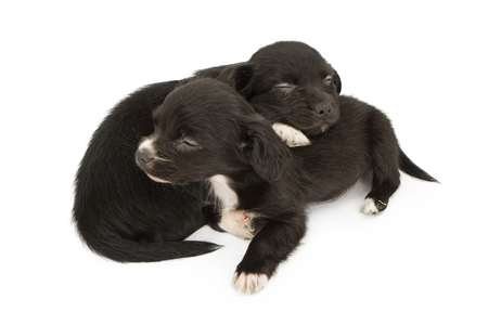 cuddled: Two adorable little black color mixed breed puppied cuddled together sleeping. Isolated on white. Stock Photo
