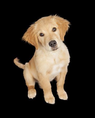 golden retriever puppy: Adorable Golden Retriever puppy dog on a black studio background