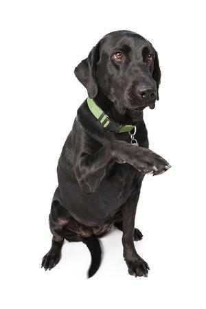 labrador: Friendly black Labrador Retriever dog sitting on white white raising paw to shake hands Stock Photo