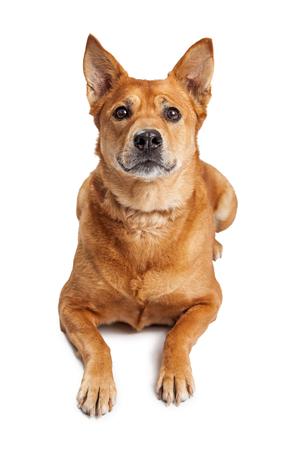 laying forward: Beautiful large adult Carolina dog laying on a white studio background while looking forward Stock Photo