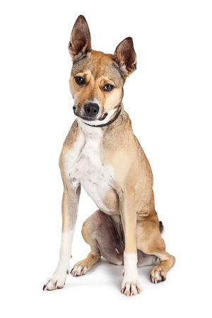 large dog: Beautiful large mixed breed dog sitting on a white backround looking forward Stock Photo