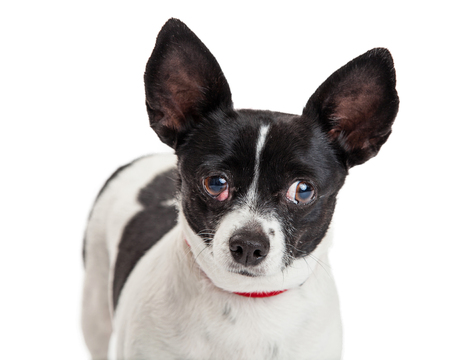 lapdog: Little Chihuahua crossbreed dog with a red, swollen third eyelid known as cherry eye