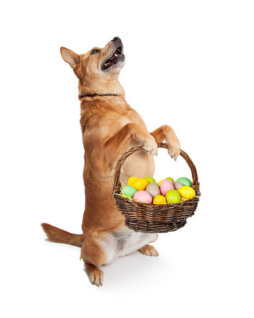 painted dog: Cute and funny Carolina breed dog sitting up and holding an Easter basket filled with colorful painted eggs