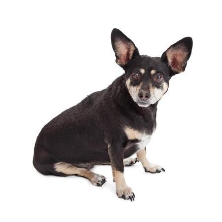 miniature breed: Chihuahua lindo y perro de raza mixta Pinscher miniatura sentado en blanco mirando hacia adelante