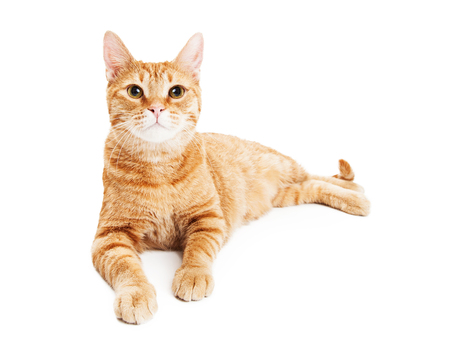 laying forward: Pretty adult orange tabby cat laying on a white studio background and looking forward into camera Stock Photo