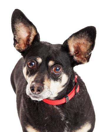 miniature breed: Retrato de un pequeño perro de raza mixta Pinscher miniatura y Chihuahua mirando hacia adelante
