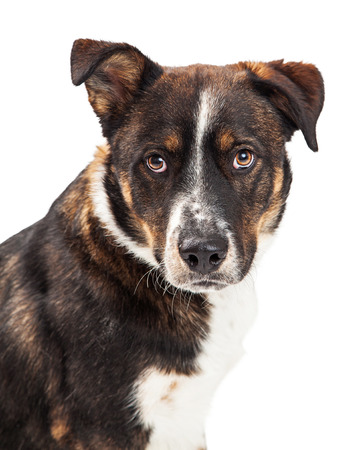 large dog: Large dog with attentive and protective expression Stock Photo