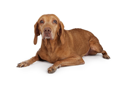 Senior large breed dog with eye infection laying down on a white background