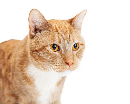 room for text: Portrait of a pretty adult cat looking to the side with blank room for text