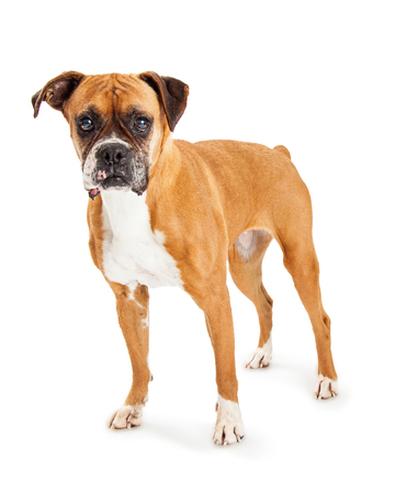 boxer dog: Hermoso perro Boxer pie mirando hacia adelante. Aislado en blanco.