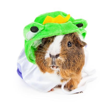 rana principe: Lindo conejillo de indias para mascotas que lleva un traje divertido de la rana Príncipe