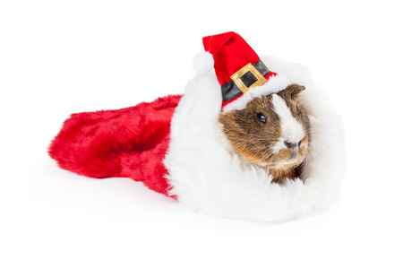 christmas guinea pig: Cute pet guinea pig in a Christmas stocking wearing a red Santa Claus hat