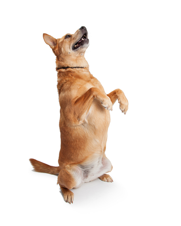 A well behaved and trained Carolina breed dog sitting up on hind legs begging Stock Photo