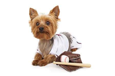 bat animal: Funny photo of a cute little Yorkshire Terrier dog wearing a baseball team outfit with a mitt, ball and bat