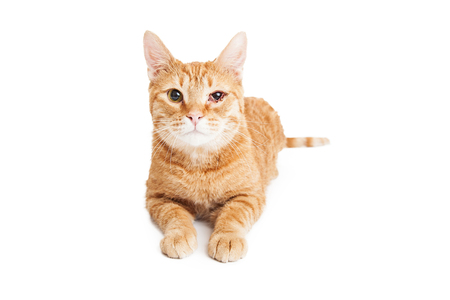 cat eye: Adult tabby cat with red, swollen and infected eye. Isolated on white.