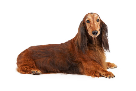 doxie: Old long hair Dachshund breed dog laying on a white background Stock Photo