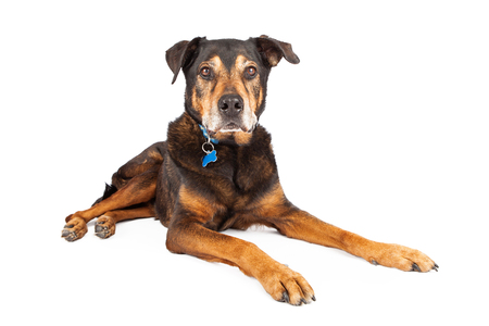 breed: A senior large mixed Shepherd and Rottweiler breed dog laying down on a white studio background, looking at camera Stock Photo