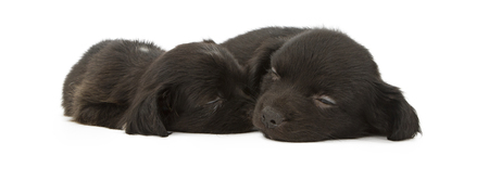 snuggling: Two adorable little black crossbreed puppies laying and snuggling together while taking a nap