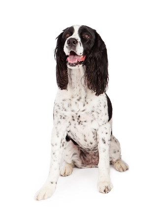 springer spaniel: Pretty adult black and white color purebred Springer Spaniel dog sitting on a white background