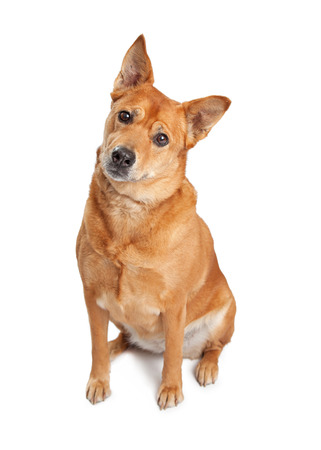 looking into camera: Cute Carolina breed dog sitting on a white background tilting head and looking into camera