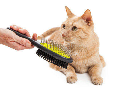 cat grooming: Adult cat being groomed with the hand of a person holding a brush in view Stock Photo
