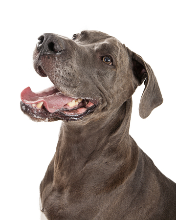 great dane: Portrait of large Great Dane breed dog with happy expression and mouth open
