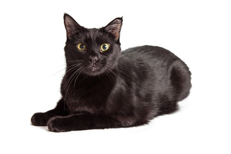 Beautiful black cat laying down over white looking forward