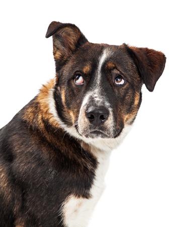 한쪽 귀를 들어 올리고 그의 눈을 굴리고있는 거짓된 강아지의 근접 촬영 스톡 콘텐츠