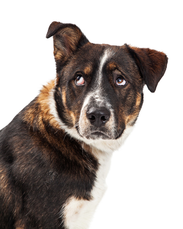 Closeup of an rritated dog lifting one ear and rolling his eyes up Stock Photo